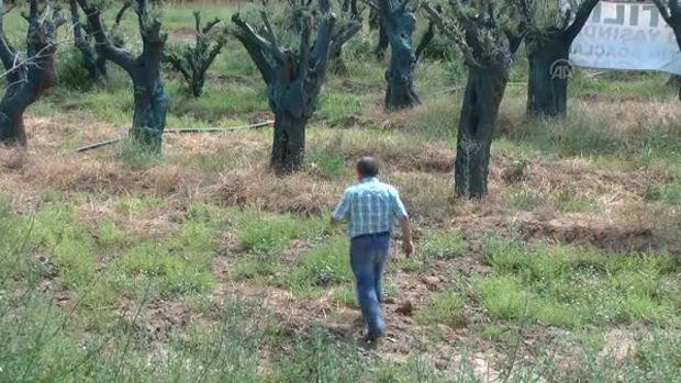300 yıllık zeytin ağacı 5 bin TL!